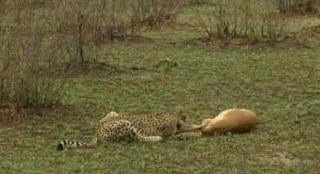 Impala Outsmarts Cheetah &amp; Hyena