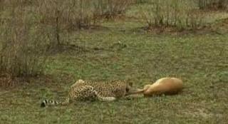 Impala Outsmarts Cheetah & Hyena